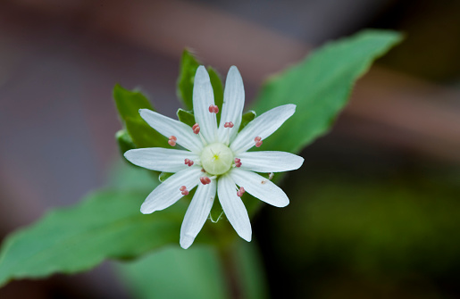 花「Star Chickweed (Stellaria pubera) star-like flowers」:スマホ壁紙(12)