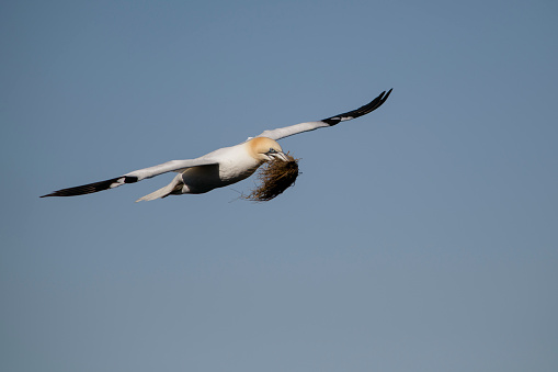 Motion「Scotland, flying Northern gannet with nesting material」:スマホ壁紙(4)