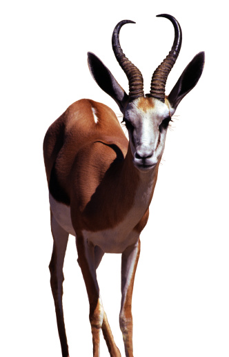 Antelope「Springbok, Isolated on white」:スマホ壁紙(16)
