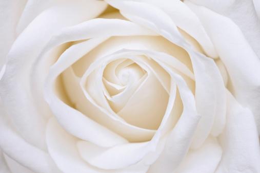 薔薇「White Rose」:スマホ壁紙(15)