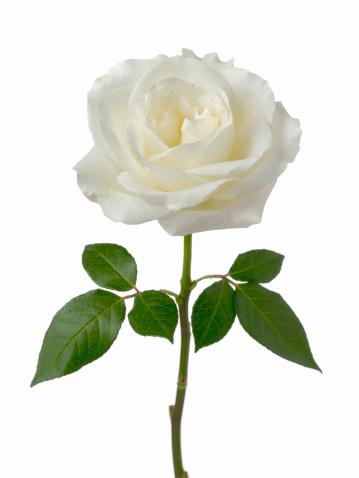 薔薇「White Rose」:スマホ壁紙(14)