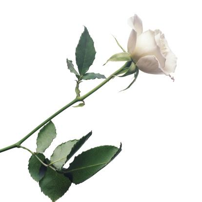 薔薇「White Rose」:スマホ壁紙(9)