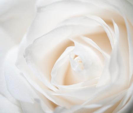 一輪の花「ホワイトのローズ」:スマホ壁紙(10)
