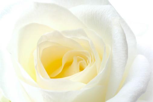 Affectionate「White rose, close-up」:スマホ壁紙(11)