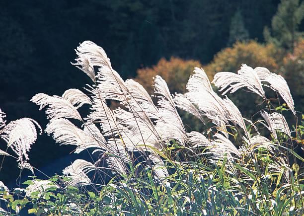 Japanese silver grass:スマホ壁紙(壁紙.com)