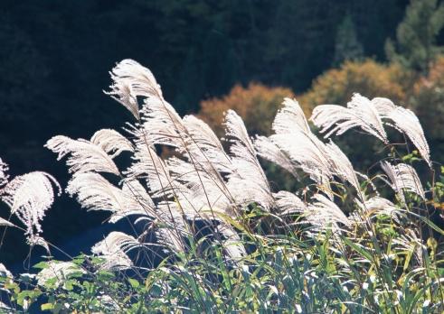 Japanese pampas grass「Japanese silver grass」:スマホ壁紙(4)