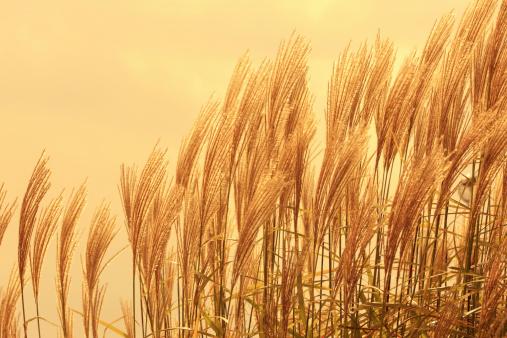 すすき「Japanese Silver Grass」:スマホ壁紙(11)