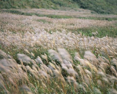 Japanese Silver Grass「Japanese silver grass」:スマホ壁紙(19)