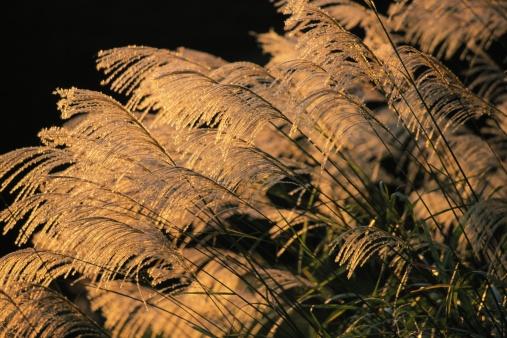 すすき「Japanese silver grass」:スマホ壁紙(10)