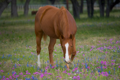 Horse「Quarter horse grazing in field of Texas bluebonnets and phlox, spring」:スマホ壁紙(11)