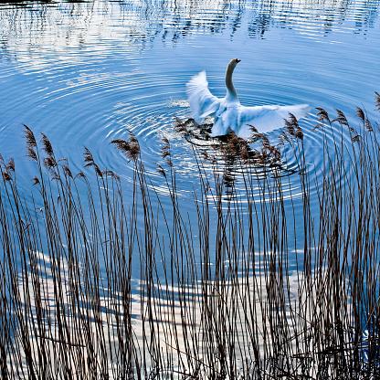 マン島「Swan in the Ramsey 40」:スマホ壁紙(7)