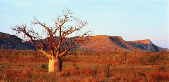 Single Tree「Lone Boab tree in scrubland, The Kimberley, Western Australia」:スマホ壁紙(18)