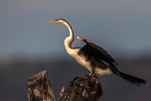 Lake Baringo「White-Necked Cormorant at Lake Baringo」:スマホ壁紙(10)