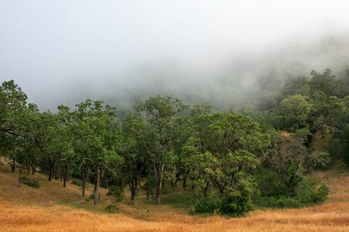 オーク林「Oaks in Fog」:スマホ壁紙(14)