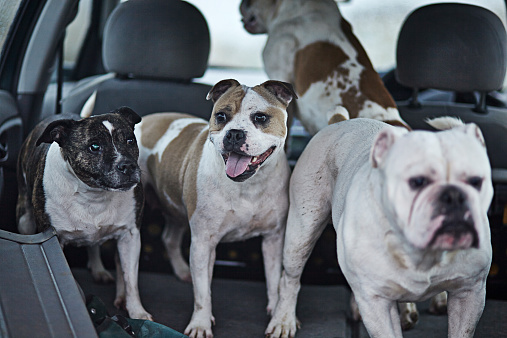 Great Yarmouth - Norfolk「Four dogs in the back of a car after a walk」:スマホ壁紙(17)