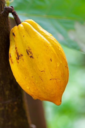 Cocoa「ココアポッド」:スマホ壁紙(5)