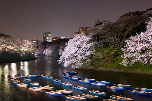 夜桜「Boats in moat lined with cherry blossom trees」:スマホ壁紙(10)