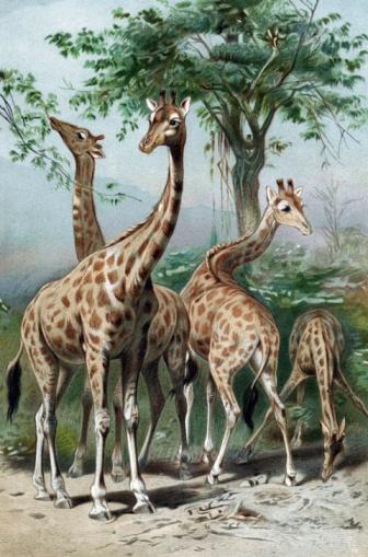 Giraffe「Giraffes」:スマホ壁紙(17)