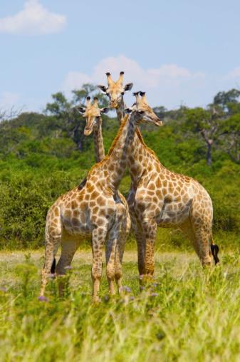 Giraffe「Giraffes」:スマホ壁紙(2)
