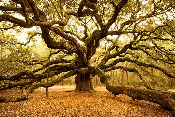 Ancient Angel Oak near Charleston:スマホ壁紙(壁紙.com)