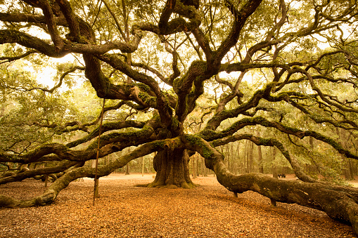 Durability「Ancient Angel Oak near Charleston」:スマホ壁紙(5)