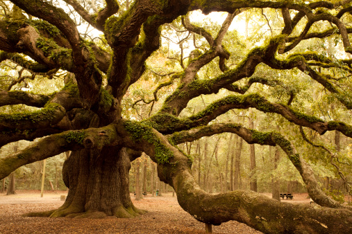 Charleston - South Carolina「Ancient Angel Oak near Charleston」:スマホ壁紙(7)