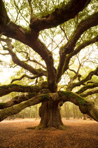 Charleston - South Carolina「Ancient Angel Oak near Charleston」:スマホ壁紙(4)