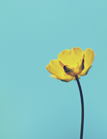 Auto Post Production Filter「Norway, Yellow buttercup flower against clear sky」:スマホ壁紙(10)