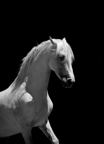 Animal Wildlife「White Stallion Horse Andalusian BW」:スマホ壁紙(15)