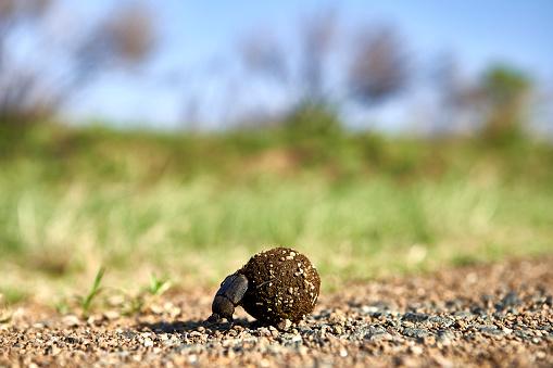 Lesotho「Dung beetle rolling its foodKruger National Park, Lesotho」:スマホ壁紙(7)
