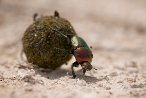 Effort「Dung Beetle, Etosha National Park, Namibia」:スマホ壁紙(15)