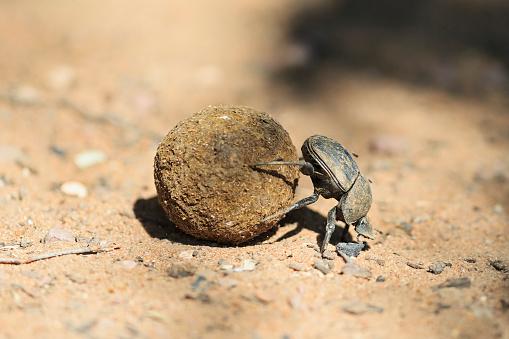 カブトムシ亜科「Dung beetle, Scarabaeus sacer, with dung ball」:スマホ壁紙(19)
