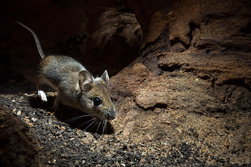 Rodent「Wood Mouse (Apodemus sylvaticus)」:スマホ壁紙(15)