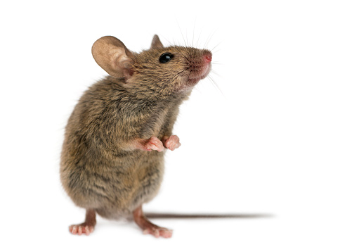 Belgium「Wood mouse in front of a white background」:スマホ壁紙(2)