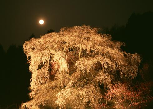 夜桜「Cherrybloom」:スマホ壁紙(18)