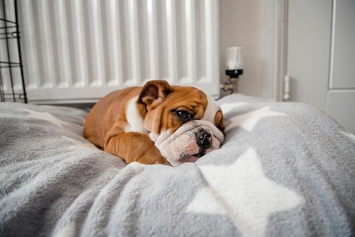 寂しさ「彼女のベッドで横になっているイギリスのブルドッグ」:スマホ壁紙(6)