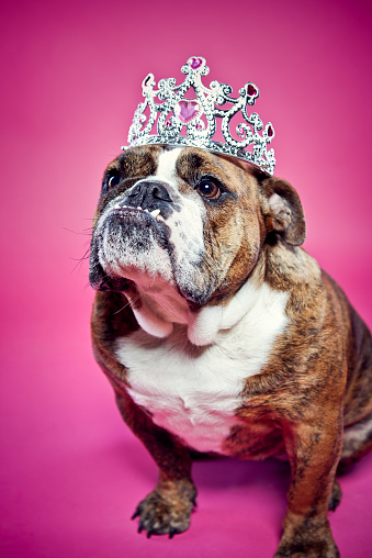 Princess「British Bulldog Pink Princess」:スマホ壁紙(4)
