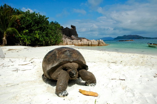 Summer Resort「Giant tortoise on beach」:スマホ壁紙(18)