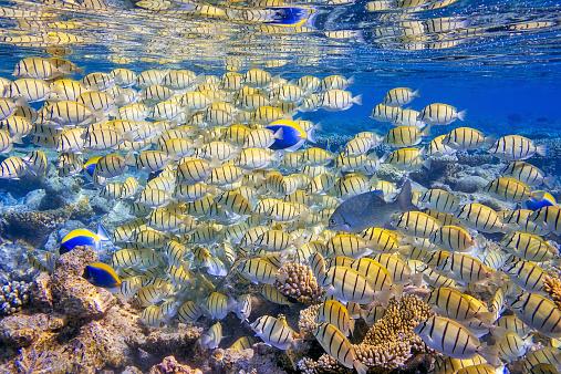 Animal Wildlife「Shoal of Manini (Convict) Surgeonfish on coral reef」:スマホ壁紙(18)