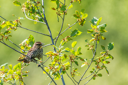 Animal「Female red-winged blackbird, beak open perched in a shrub.」:スマホ壁紙(10)