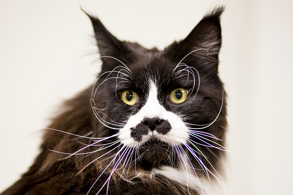 猫「The Feline World Gathers For The Supreme Cat Show 2015」:写真・画像(0)[壁紙.com]