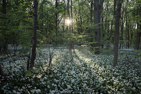 Woodland「Flowering Garlic Covers Woodland Floor」:写真・画像(1)[壁紙.com]
