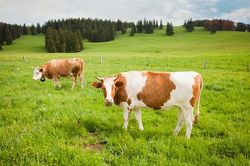 Horned「Cows standing in field」:スマホ壁紙(3)