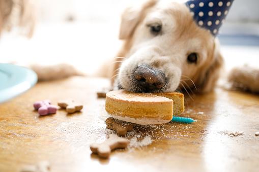 Hungry「Dog eating birthday cake」:スマホ壁紙(1)