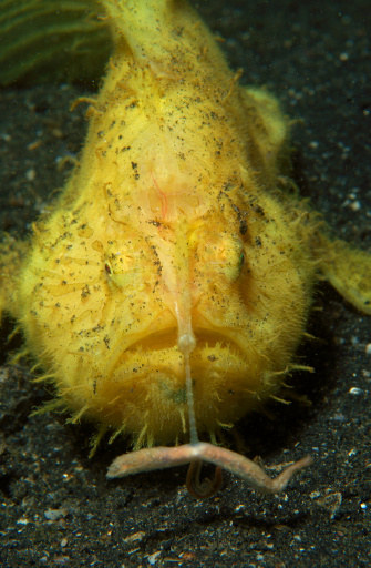 Animals Hunting「Yellow frogfish hunting, fishing rod extended, Lembeh Strait, North Sulawesi, Indonesia.」:スマホ壁紙(3)