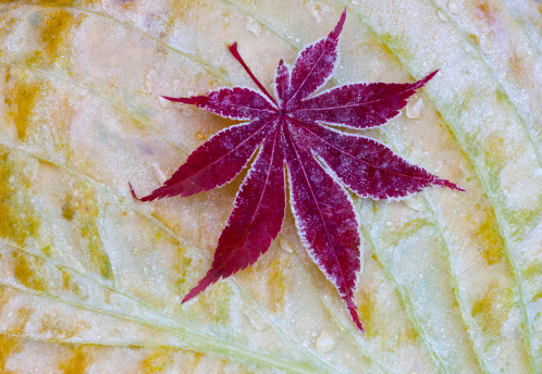Japanese Maple「Frosted Japanese Maple leaf on Hosta late Fall」:スマホ壁紙(1)