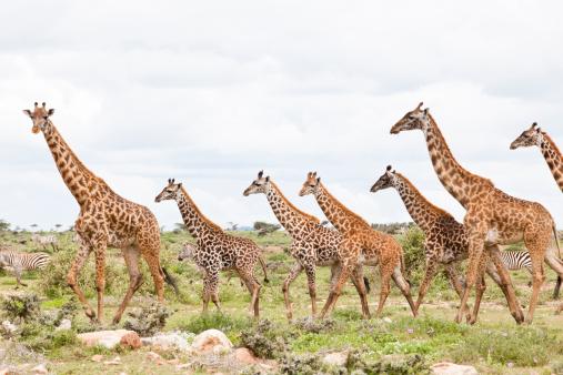 Giraffe「Giraffes are running」:スマホ壁紙(6)