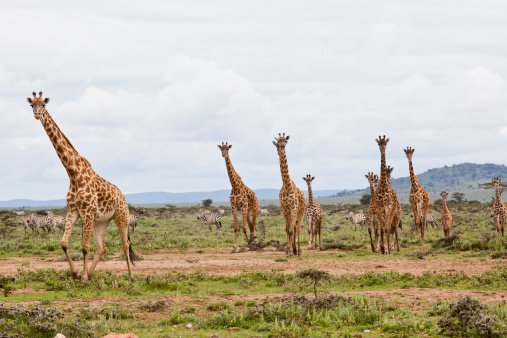 Giraffe「Giraffes are running」:スマホ壁紙(7)