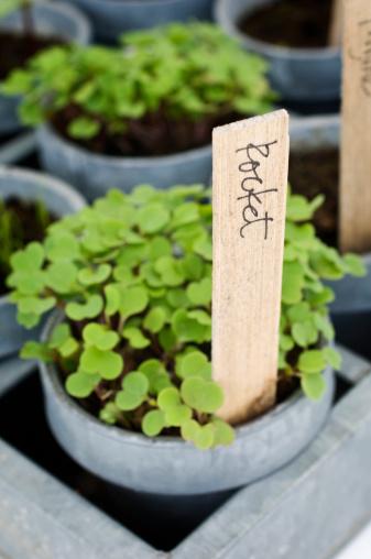 Planting「Rocket (Eruca sativa) seedlings with label」:スマホ壁紙(16)
