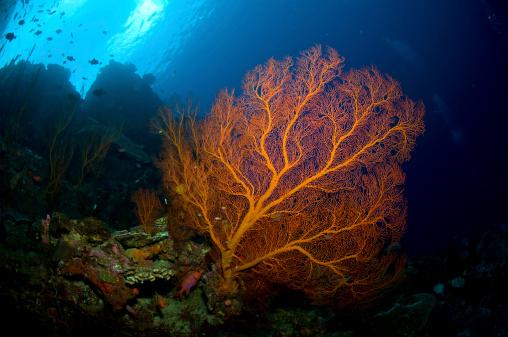 Fan Shape「Orange sea fan, Christmas Island, Australia.」:スマホ壁紙(18)